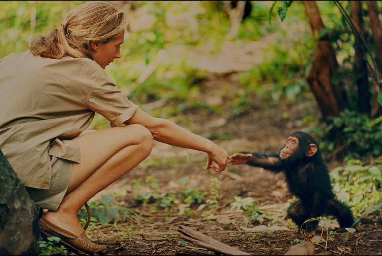 Chimpanzees, Jane Goodall, and an Oscar-nominated Documentary